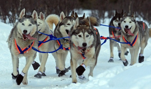 By Frank Kovalchek from USA (Great looking dogs from Hank Debruin's team) [CC BY 2.0 (http://creativecommons.org/licenses/by/2.0)], via Wikimedia Commons