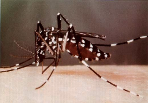 Asian tiger mosquitoes often attack in packs and bite during the day