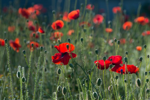 Love Is like Poppy -  Beautiful and Hiding an Opiate