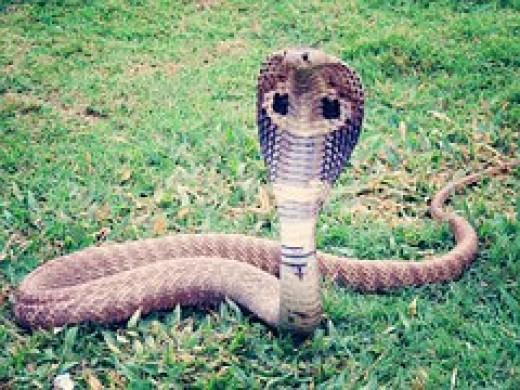 The feared King Cobra