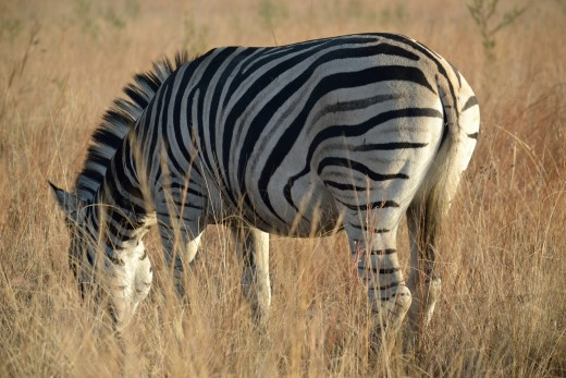 Zebra Has that Perfect Switch from Stressful to Calm State