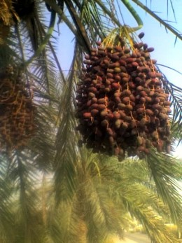 fresh dates - perfect for iftar