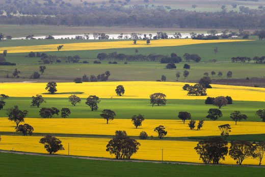 Yellow Fields of Oilseed Rape