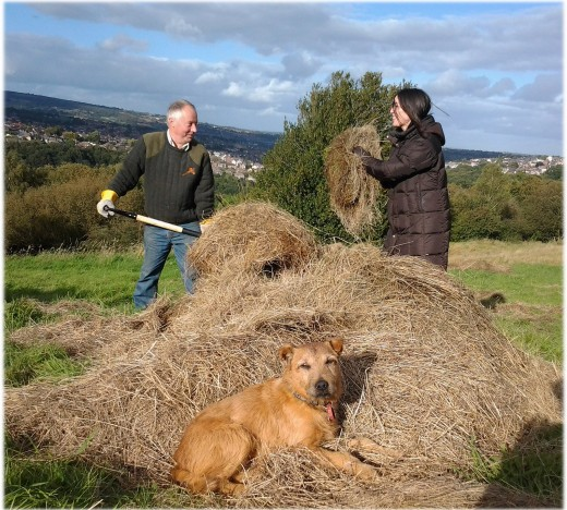 Hay to be used as mulch