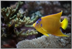 Queen angelfish : Guide On The Magnificent Queen Angel