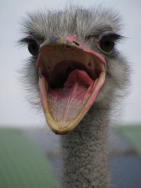Ostrich, beak open