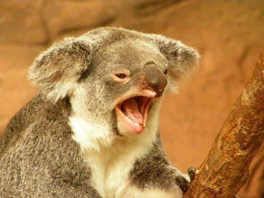 Koala, ZooParc de Beauval, Saint-Aignan, Loir-et-Cher, France