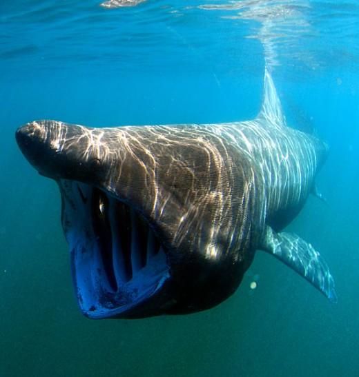Basking shark (Cetorhinus maximus).