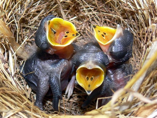 The nest and chicks of an Australian Pipit Anthus australis