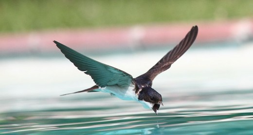 A swallow drinking while flying over a swimming pool