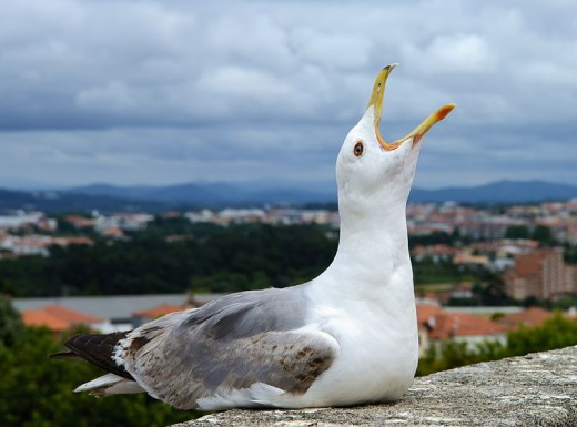 Yellow-legged gull (Larus michahellis). Photo taken on the top of the basilica of Nossa Senhora do Pilar, Gaia, Portugal