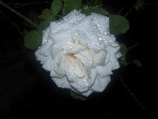 Like a nourished rose...