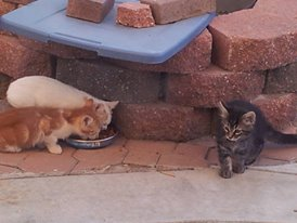 All 3 feral kittens eating. The white on is princes, the tabby is rollie.