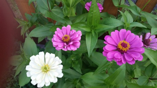 Zinnia large mixed colors