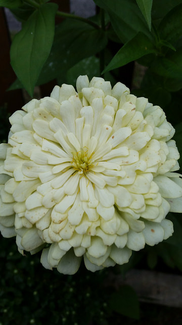 Zinnia Giant in White