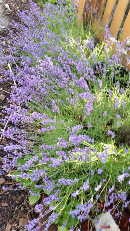 Lavender in mid-summer