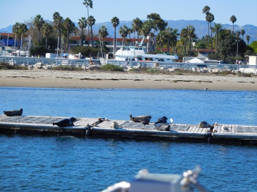 Sea lions in Santa Barbara harbor.