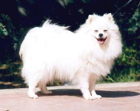 Image Source http://www.profi1a.de/dogwiki/index.php/Bild:Volpino04.jpg