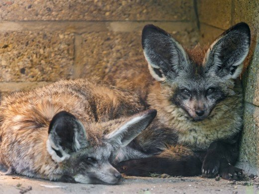 pet fox guide legality care and important information pethelpful