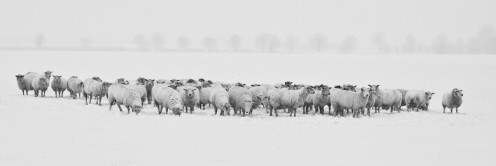 A flock of sheep blend into the snowy winter landscape.