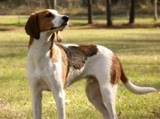 Stock Image of a Treeing Walker Coonhound