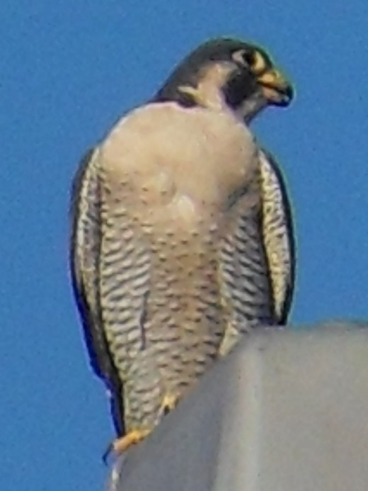 Peregrine falcons and parakeets: not a good mix. Be careful when bringing birds outside. -Photo by George Sommers
