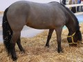 Little Known Pony Breeds Part I
