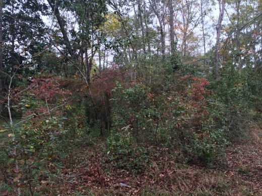 Everywhere you see red leaves here is a wild blueberry bush.