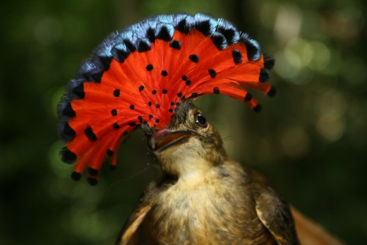 Royal Flycatcher (Onychorhynchus mexicanus)