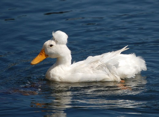 Domestic crested duck (a variant of Anas platyrhynchos f. domestica) in the harbor of Camden, Maine.