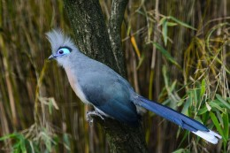 Crested Coua (Coua cristata) at Weltvogelpark Walsrode (Walsrode Bird Park, Germany)
