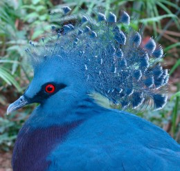 Headshot of a Victoria Crowned Pigeon, taken in Jurong Bird Park, Singapore.