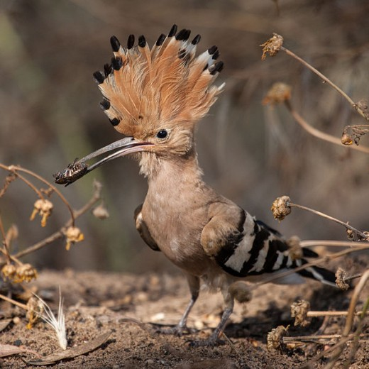 Hoopoe (Upupa epops) with an insect