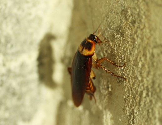 An image of a single cockroach that is sitting on a sandstone wall.