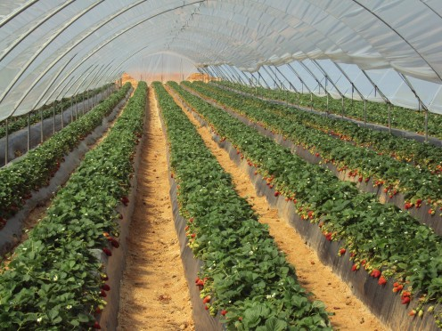 Strawberries are grown on an industrial scale inside poly tunnels.