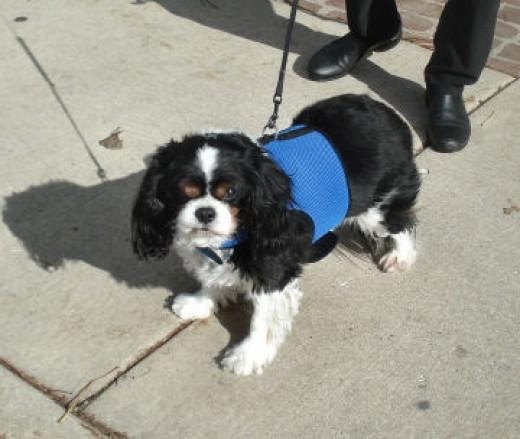 Rudy, the Cavalier King Charles Spaniel, wears a Medium Wrap-N-Go Harness