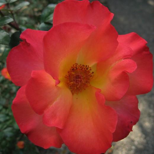 Rose 'Playboy'