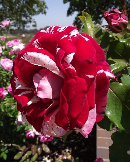 Rosa 'Rock 'n' Roll'
