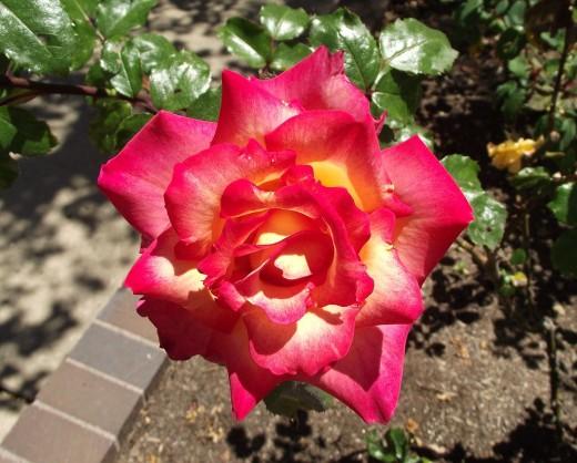 Rosa 'Rainbow Sorbet'