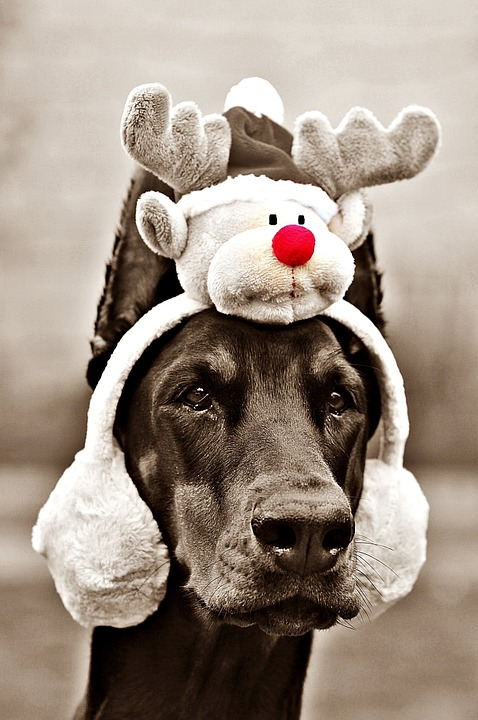 This doberman is wearing a reindeer decoration on it's head