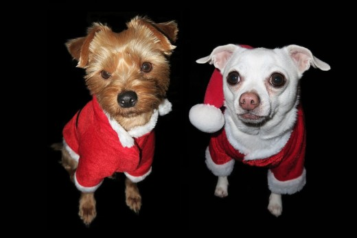 Here we have a Yorkie and a Chihuahua all decked out in Christmas doggie clothes