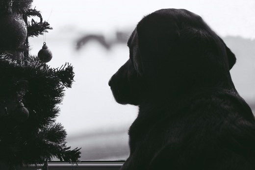 This Labrador is sitting next to the tree looking out the window - I wonder if dreams of sugar plum fairies are dancing in his head