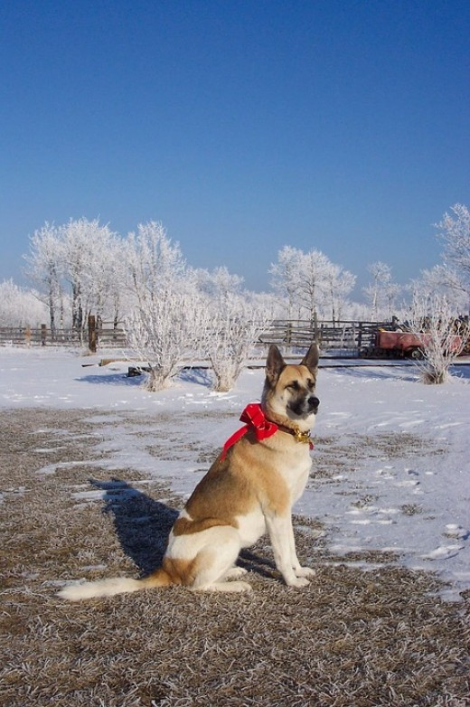 Here's an Akita in his Christmas duds