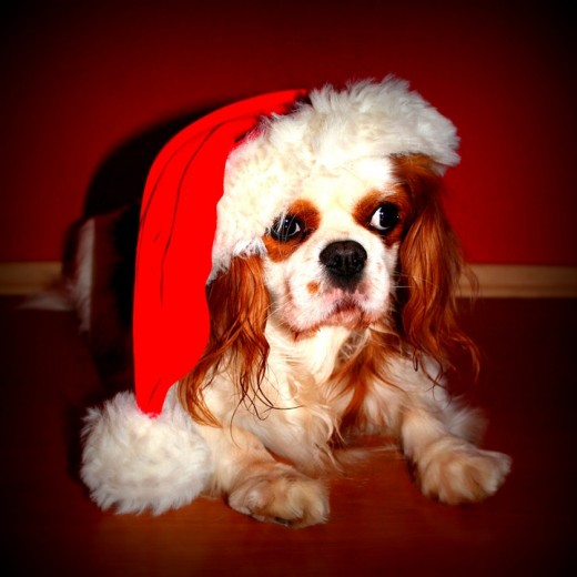 The Cavalier King Charles Spaniel in her Christmas hat