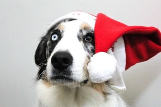 One blue eye, one brown eye, this beautiful  herding dog is able to carry the Santa hat look with no problem