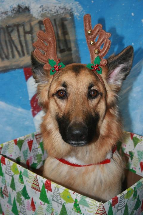 Christmas Shepherd sitting in a gift box