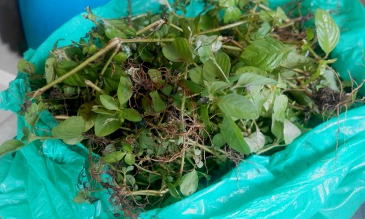 Herb harvested for treatment of skin infections