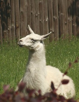 Why are so many people using a llama as their Facebook profile photo?