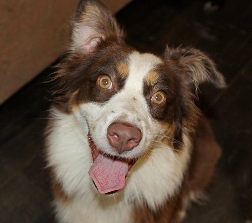 http://www.flickr.com/photos/australianshepherds/2931526420/