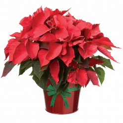 The History of Poinsettias